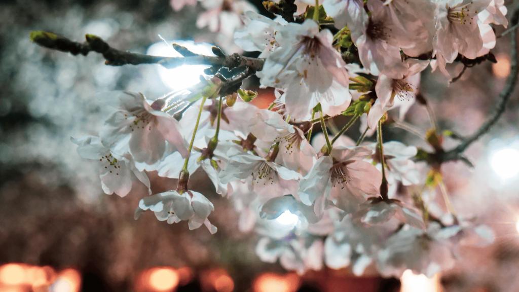京都・円山公園の祇園しだれ桜を見に行ってきました