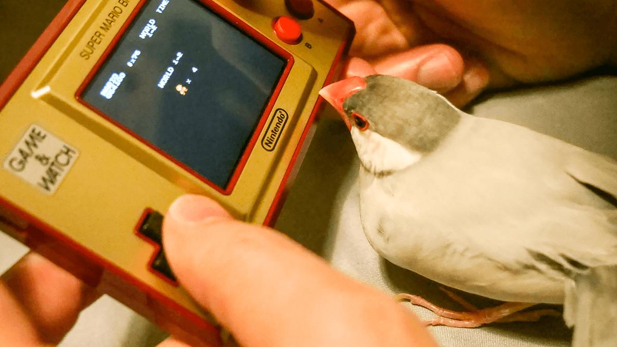 シルバー文鳥の平八も興味津々